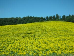 イタリアひまわり畑⑤